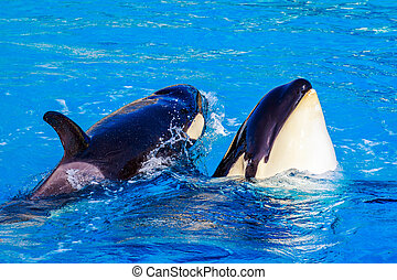 Killer Whale in water - A Killer whale (Orca) sticks its...