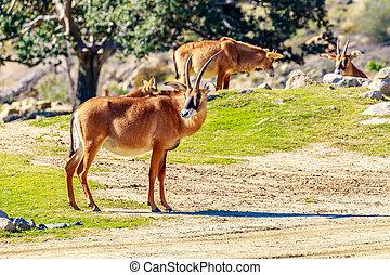 Roan Antelope - A Roan Antelope walking across the...