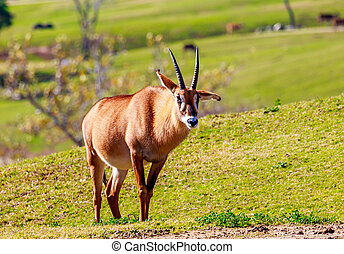 Roan Antelope - A Roan Antelope walking across the grassland...
