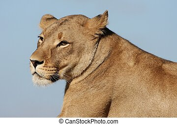 Lioness Portrait - Profile of a beautiful female lion or...
