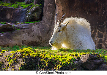 Rocky Mountain Goat - A white mountain goat sitting on the...