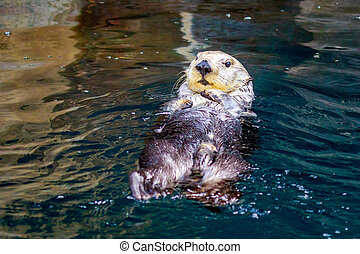 Sea Otter in water - A sea otter enjoys leisure time in...