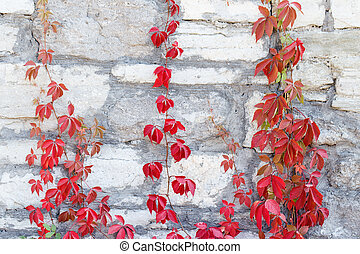 Stone wall background texture wild grapes - gray Stone wall...