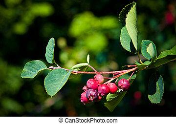 Saskatoon Berry Tree - Saskatoon Berry ripens in June and...