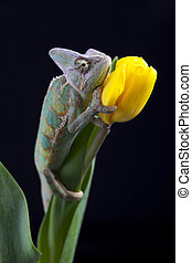 Big chameleon - Beautiful big chameleon sitting on a tulip