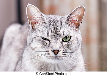 gris, atigrado, gato, Guiños,