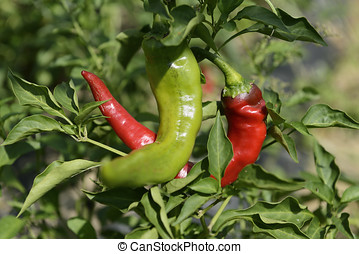Hot Portugal Chili Peppers - Hot portugal variety of chili...