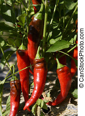 Hot Portugal Chili Peppers - Hot peppers of the Hot Portugal...
