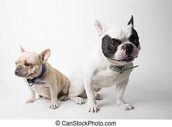 Couple French bulldog sitting on background