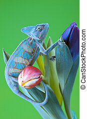 Beautiful chameleon - Beautiful big chameleon sitting on a...