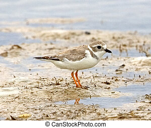 Piping Plover - Chardrius melodus