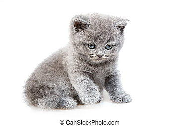 British lop-eared kitten Isolated on white background