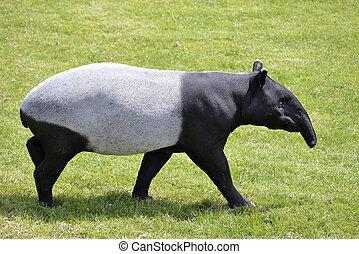Malayo, tapir, ambulante, en, pasto o césped,