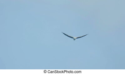 White-bellied sea-eagle Haliaeetus leucogaster flying over...