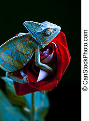 Beautiful big chameleon sitting on a rose