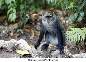 Macaque - Wild monkey face jungle wildlife green background...