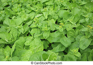 green chinese flowering cabbage crops in growth at garden