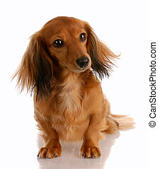 miniature dachshund - long haired miniature dachshund...