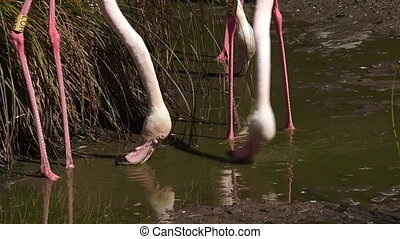 Two flamingo drink water from pond. - Two flamingo...