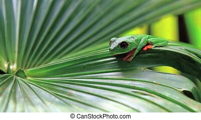 Red eyed frog eight,Costa Rica - Red eyed frog,Costa Rica