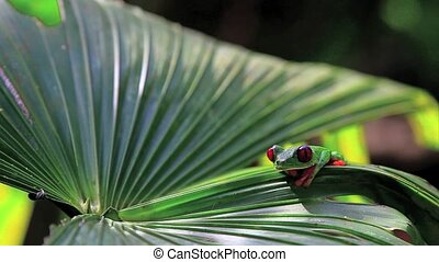 Red eyed frog six,Costa Rica - Red eyed frog,Costa Rica