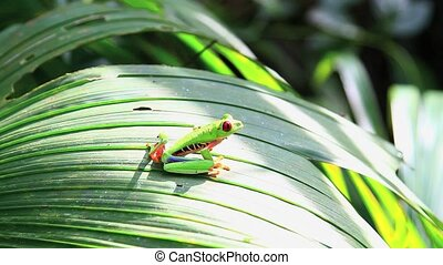 Red eyed frog,Costa Rica