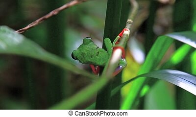 Red eyed frog eleven,Costa Rica - Red eyed frog ,Costa Rica