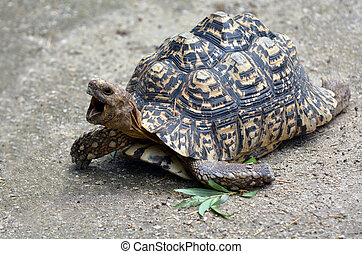 Leopard tortoise large and attractively marked tortoise -...