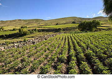 Potatoes crop field in the andes, Bolivia.