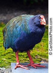 Takahe (Porphyrio Notornis hochstetteri). For years, takah?...