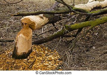 beavers - damage by beavers