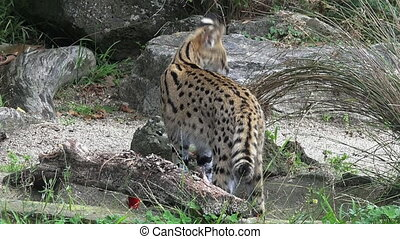 Serval - African wild cat - Serval a medium-sized African...