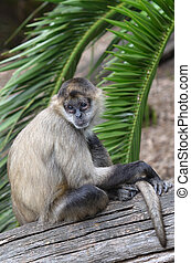 Spider monkey sit on a tree log - Spider monkey Ateles...