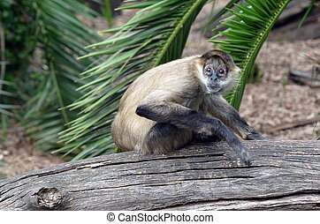 Terrified Spider monkey Ateles geoffroyi sit on a tree log...