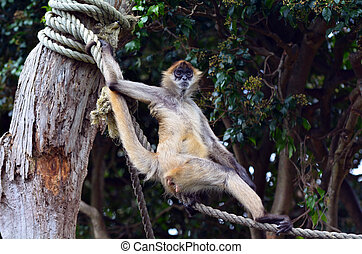 Spider monkey stand on a rope - Spider monkey Ateles...