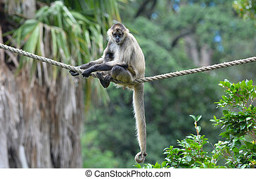 Spider monkey sit on a rope - Spider monkey Ateles geoffroyi...