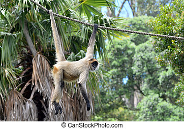 Spider monkey play on a rope - Spider monkey (Ateles...