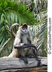 Spider monkey sit on a tree log - Spider monkey (Ateles...