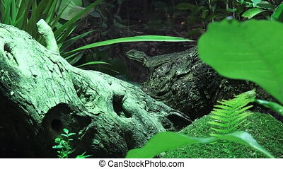 Tuatara lizared New Zealand - Tuatara (Sphenodon punctatus)...