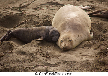Mother and Pup Elephant Seals - a mother and pup northern...