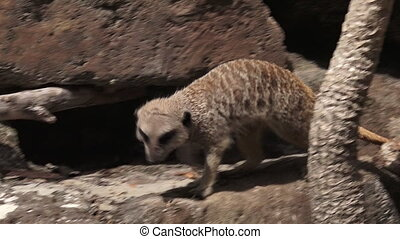 Meerkat walks on rocks - Meerkat Suricata suricatta walks on...