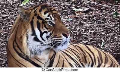 Sumatran tiger portrait - Sumatran tiger Panthera tigris...