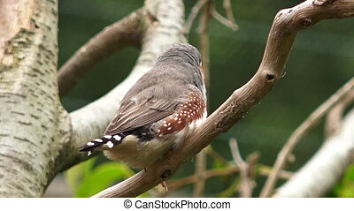 Zebra finch exotic bird Taeniopygia guttata sit on a tree...