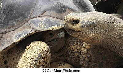 Two Galapagos tortoise Chelonoidis nigra A full-grown...