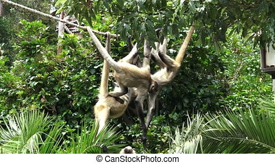Group of Spider Monkeys - Group of Spider monkeys (Ateles...
