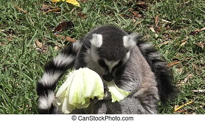 Ring-tailed lemur eat Lettuce - Ring-tailed lemur Lemur...