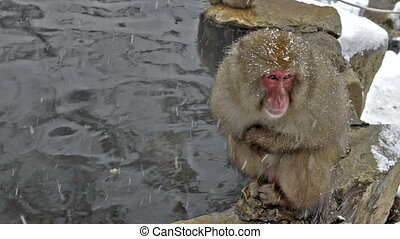Snow monkeys relaxing in hot-spring - Snow monkeys relaxing...