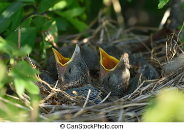 Thrush chicks in the nest in spring