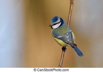 blue tit on branch in winter (parus caeruleus)