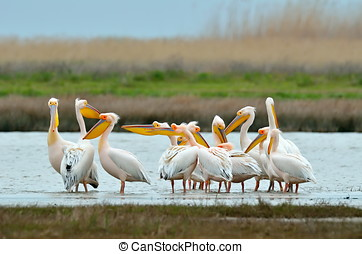 pelicans in natural habitat